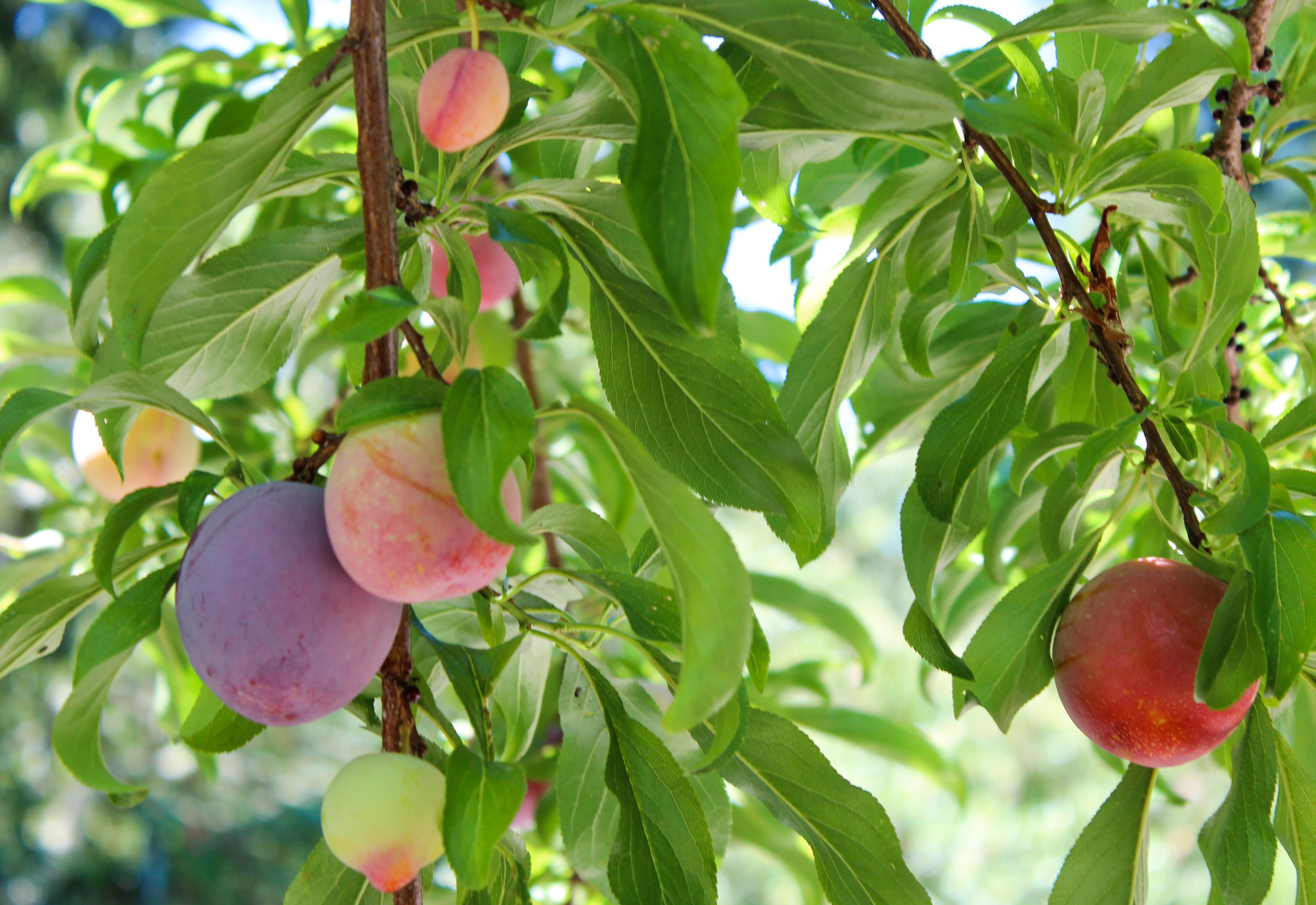 plum jam seed to stove